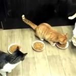 これは酷い!|仲間の食事の邪魔をして、ご飯を独り占めにする欲張りな猫