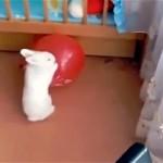 楽しそうに遊んでいるウサギ。突然持っていた風船が割れた結果、こうなった