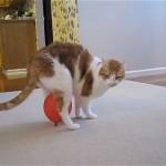 これは珍しい!|股下に風船を挟みながら歩く奇妙な猫ちゃん。