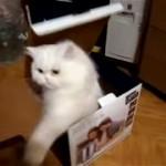 これはスゴイ!|箱に近付くものに容赦なく高速猫パンチを浴びせるニャンコ