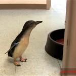 これはカワイイ!|飼育係を探すペンギンの赤ちゃんを呼んでみた結果、こうなった。