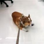 これは可哀想!|散歩に行くのが嫌で恨めしそうに飼い主さんを見つめるコーギー犬