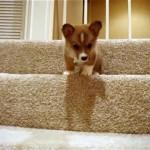 これは胸キュン!|小さな体で懸命に階段を降りる子犬のコーギー