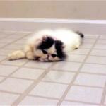 これはカワイイ!|床に映る自分の姿を追いかけて無邪気に遊ぶモフモフの子猫