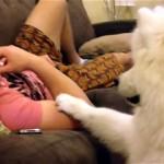 モフモフのサモエド犬に「おいで」と声を掛けたところ、こんな可愛いことに