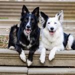 カメラを向けるとポーズを決めるラブラブカップルのボーダーコリー犬