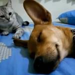 気持ち良さそうに眠る犬 vs 不満そうに見ている猫に何かが起こりそうな予感!