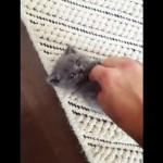 胸キュン!|お腹をくすぐられた時のカワイ過ぎる子猫の反応