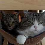 ハンモックで毛繕いをしながら寛ぐ二匹の猫に思いがけないハプニングが(笑)!