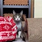 ロックオン完了(笑)!|華麗な猫ミサイルを披露してくれる猫のおはぎちゃん