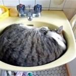 洗面ボウルで寝ている猫。飼い主さんが起こしに来たところ、とってもカワイイことが…