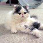 両前脚でボールをとっても上手にキャッチするペルシャ猫