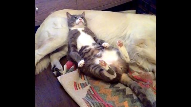 緊張感無さすぎ!|眠っている犬をソファ代わりにして猫が寛いでいたところ…