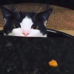 テーブルの上のオヤツに手を伸ばす猫の仕草が可愛いすぎる