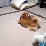 これは予想外!|カゴで遊んでいる柴犬の子犬に起きたかわいい悲劇(笑)
