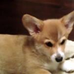 機嫌よく遊んでいたコーギー犬が突然逃げ出した!その理由とは…