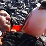 初めて出会った人間にいきなりハグする好奇心旺盛なペンギンの子供