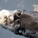 これは堪らない!|母親に抱かれてすやすや眠る寝顔のかわいいラッコの赤ちゃん