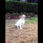 初めて雨を体験したブルドッグの子犬の面白可愛いリアクション