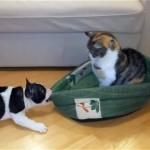 猫に奪われてしまったベッドを必死に取り返そうとするフレンチブルドッグの子犬