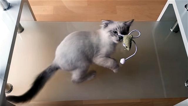 ガラステーブルの上に置かれたオモチャを必死に取ろうとする子猫