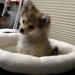 狼の遠吠えを聞かせてみたところ、カワイイ反応を見せた子犬