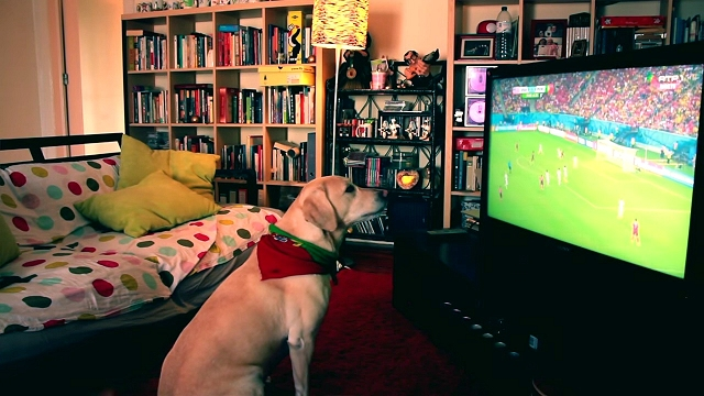 サッカーを観戦中、自国がゴールを決めると立ち上がって大喜びするラブラドール犬