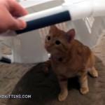 ヤドカリのように洗濯カゴを被ったままオモチャで遊ぶ子猫。