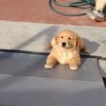 スロープを登り切れず途中で滑り落ちてしまうゴールデンレトリバーの子犬
