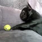 テニスボールをやっと手に入れたと思ったフレンチブルドッグに訪れた悲しい結末