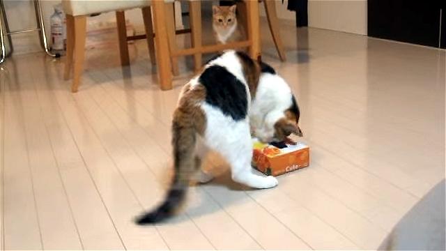 これは大変!|ティッシュ箱で遊んでいる猫に訪れたハプニング(笑)