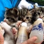 哺乳瓶のミルクをチュパチュパする可愛い三匹の子猫