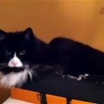 まるでギャグ!?|飼い主さんの言い付けを無視する反抗的な猫(笑)