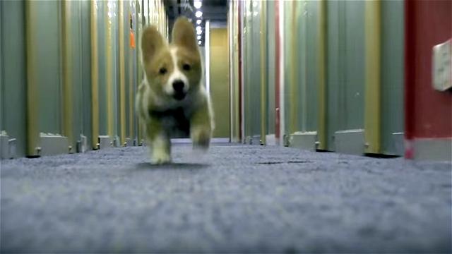 カメラに向かって猛ダッシュで突っ込んでくるコーギーの子犬