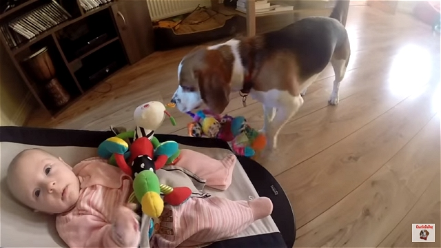 オモチャを横取りして赤ちゃんを泣かせてしまった気まぐれなビーグル犬のチャーリー