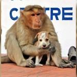 野良犬の子供の世話をする野生のアカゲザル。愛情溢れる姿に感動!9枚