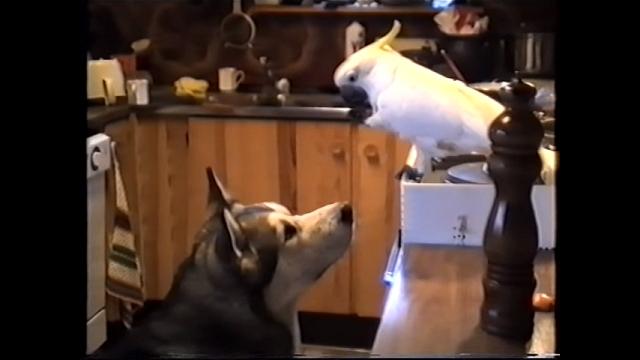 夕食の残り物を盗み食いするオウムとそれに加担するワンコの異色コンビ(笑)