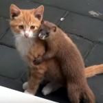 猫のことが大好きなイタチとそうでもないクールな猫のやりとり(笑)