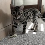 機嫌よく遊んでいる子猫にくっついて離れようとしない粘着質なもの(笑)