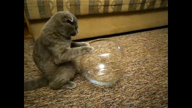これはお見事(笑)!|金魚鉢の中にぴったりと収まってご満悦なニャンコ