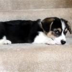 階段を降りようと勇気を出して頑張るコーギーの子犬に胸キュン♡