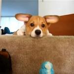 飼い主さんとオモチャで遊ぶ可愛いコーギーの子犬