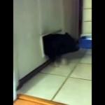 ネコ用扉を通り抜けようとして閊えてしまいパニック状態の子豚(笑)