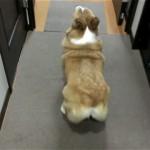 ボール遊びをするコーギー犬。お尻のフリフリが可愛い過ぎ!