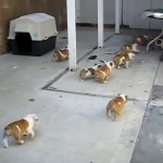 母犬と追いかけっこをするブルドッグの子犬たち