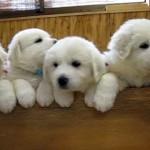 縫いぐるみのようにモフモフのグレートピレニーズの子犬たち