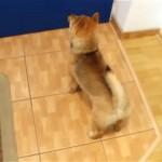 飼い主さんの帰宅を玄関で待ちわびる柴犬の子犬