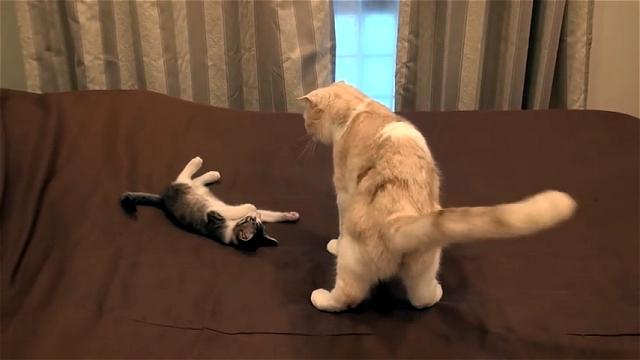 兄猫を怒らせてしまい、奇妙なポーズをとって気を逸らす子猫(笑)