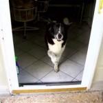 ガラスの扉が閉まっていると勘違いして部屋から出て来れないワンちゃん(笑)