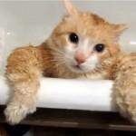 太り過ぎでバスタブから出られないお風呂が嫌いなニャンコ(笑)